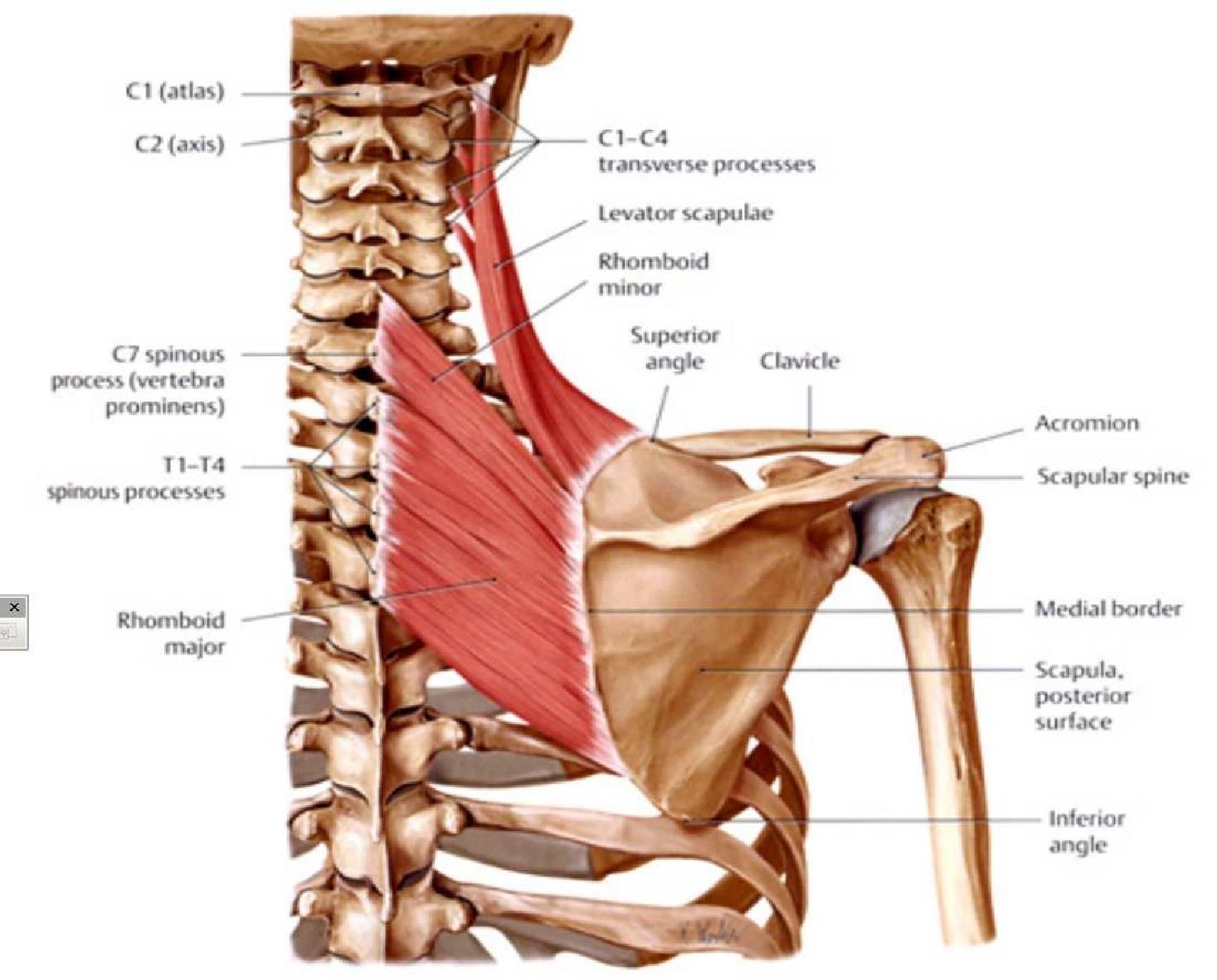 Großartig Muskeln In Rücken Zeitgenössisch - Menschliche Anatomie ...